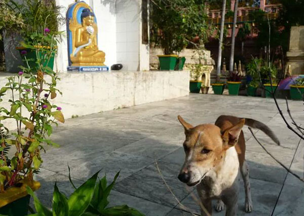 A dog helped by Dogs Of Gaya